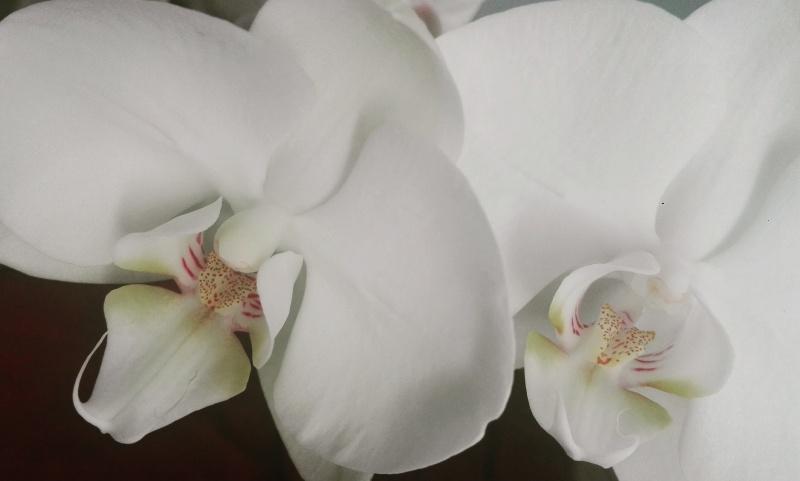 White Orchides