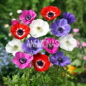 anémonas flores