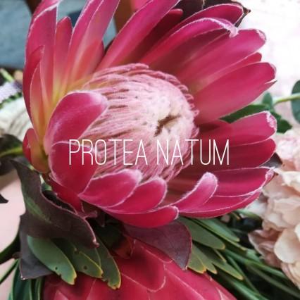 protea natum logo